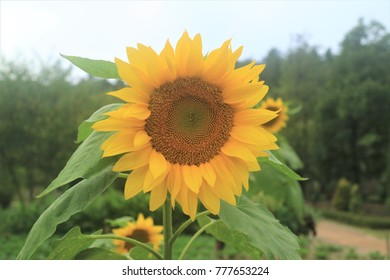 Beautiful Sunflowers garden