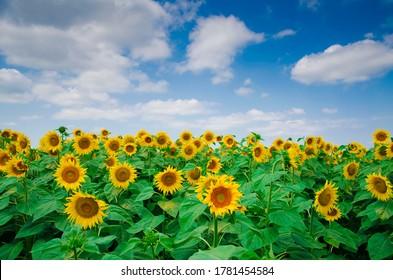 Beautiful sunflowers on sunny summer day