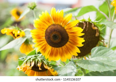 Beautiful sunflowers in a rural field.