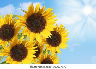 beautiful sunflowers under blue sky