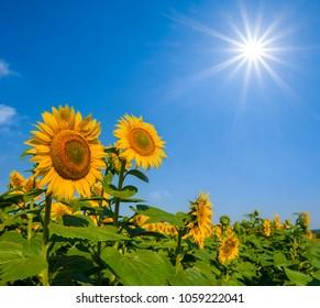 beautiful sunflowers under a sparkle sun