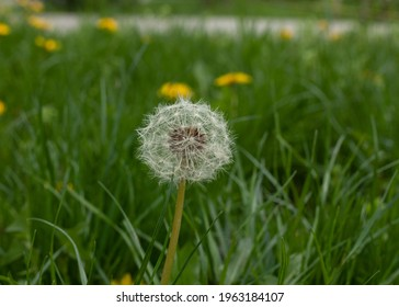 beautiful, sunlight, morning, freedom, life, nature, plant, background, flower, green, spring, summer, meadow, growth, seed, dandelion flower, blowballs, blowball, dandelion seeds blowing, seedling, s
