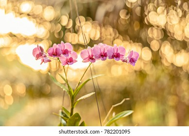 beautiful sunlight purple phalaenopsis orchid flower with natural background. cymbidium orchid with leaves isolated on out of focus on bokeh background.violet flower are blooming on beauty gold light.