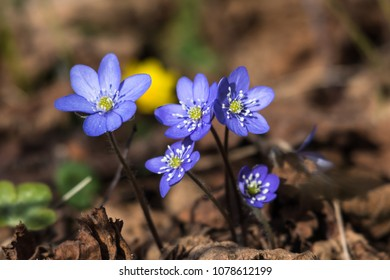 Beautiful sunlit blue anemones, one of the first spring season signs