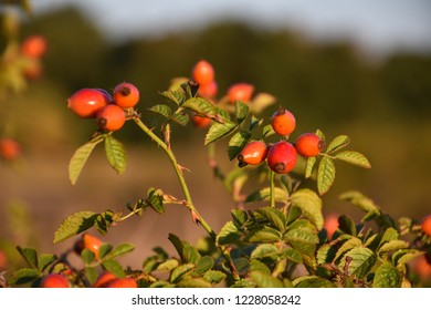 Beautiful sunlit dogrose shrub with ripe berries