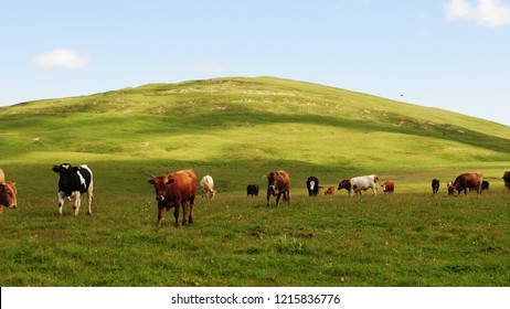 Beautiful sunlit green alpine field with herd of colorful black, white and brown cows grazing on hill