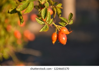 Beautiful sunlit growing red matured rose hip berries