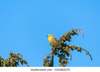 Beautiful sunlit male Yellowhammer on a juniper twig