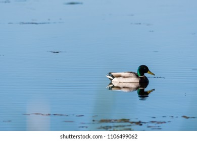Beautiful sunlit Mallard, Anas Platyrhynchos, swimming in a pond with water reflections