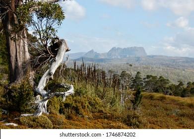 Beautiful sunlit old eucalyptus tree with Cradle Mountain in background, Cradle Mountain-Lake St Clair National Park Tasmania Australia