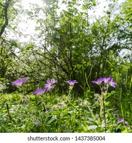 Beautiful sunlit purple summer flowers in a lush greenery in a deciduous forest