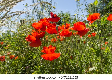 Beautiful sunlit red poppies in a lush greenery