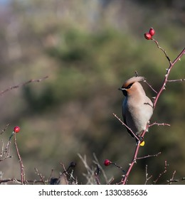 Beautiful sunlit Waxwing bird, Bombycilla garrulus, searching for food in a rose hip shrub at the swedish island Oland