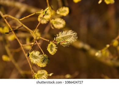 Beautiful sunlit willow catkins closeup