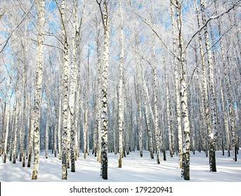 Beautiful sunny birch grove with covered snow branches