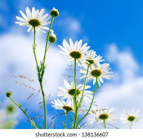 Beautiful sunny chamomile flowers against blue sky