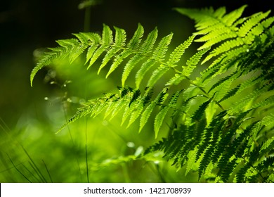 Beautiful sunny green fern plants in the morning forest. Selective focus used.