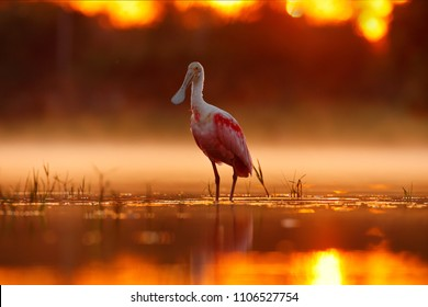 Beautiful sunrise with bird, Platalea ajaja, Roseate Spoonbill, in the water sun backlight, detail portrait of bird with long flat bill, Pantanal, Brazil. Animal in foggy nature, morning sunrise.