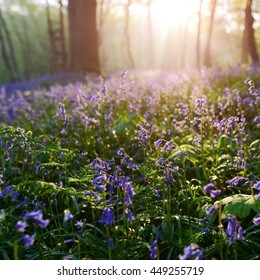 beautiful sunrise in bluebells forest in springtime, Halle forest near Brussels, Belgium