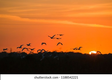Beautiful sunrise and a flock of Snowy egrets in the Pantanal, Mato Grosso, Brazil