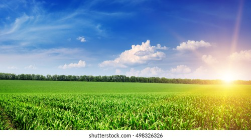 Beautiful sunrise on green cornfield and blue sky