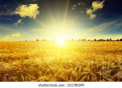 Beautiful sunrise over a field of wheat