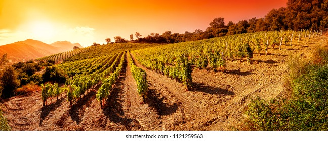 Beautiful sunrise over a landscape of a vineyard laden with bunches of ripe grapes in the summer