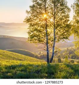 Beautiful sunrise, sunbeams through birch branches