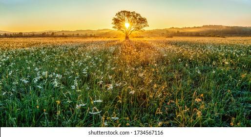 Beau lever de soleil dans la vallée de fleurs blanches - daffodils sauvages. Parc national des Carpates (Ukraine)