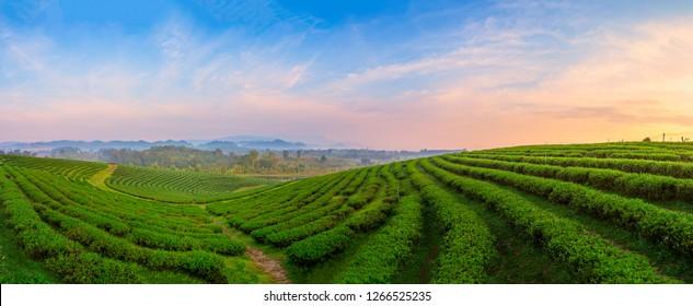 A beautiful sunset at Chui Fong tea plantation, Chiang Rai, Thailand