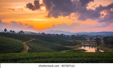 A beautiful sunset at Chui Fong tea plantation, Chiang Rai, Thailand.
