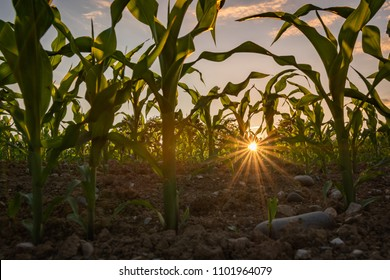 Beautiful sunset in cornfield in agriculture in summer