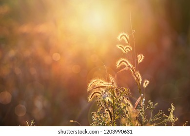 Beautiful sunset in the field of Feather pennisetum or Mission grass backlitght glow against the sunlight  with sunflare and bokeh. Enjoy your new day