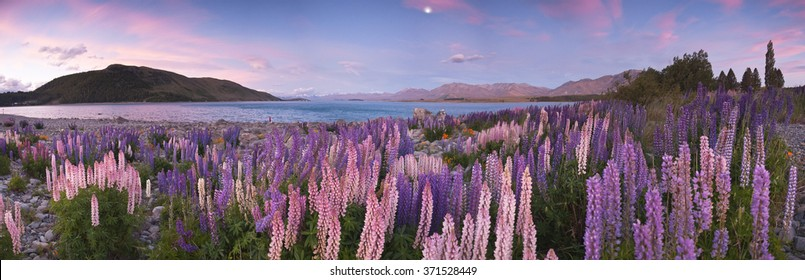 Beautiful sunset at Lake Tekapo with lupines in full bloom