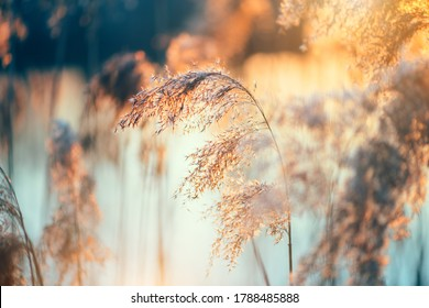 Beautiful sunset landscape scene, reed in sunlight, blurred background with reflection in the river. Beauty sunny backdrop, trees in a forest. Tranquil nature in sunlight.