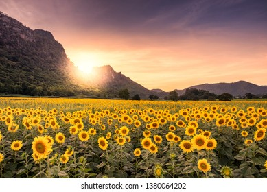 Beautiful sunset landscape view of field of blooming sunflowers on a background sunset