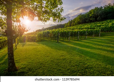 Beautiful sunset on the vineyard in Vipava valley, Slovenia near Italian border
