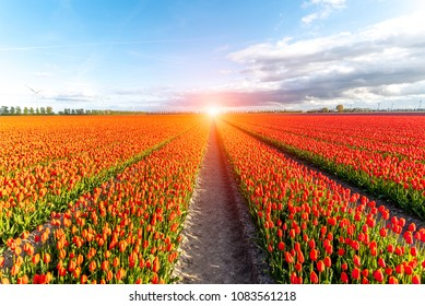 Beautiful sunset over the colorful tulip field