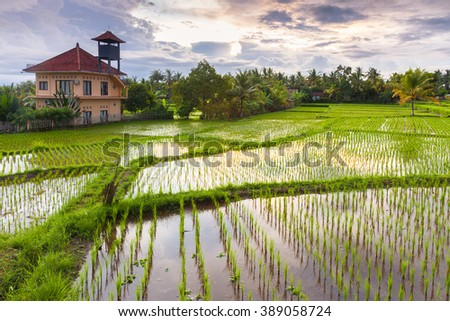 Beautiful sunset over the rice field, Ubud, Bali, Indonesia.