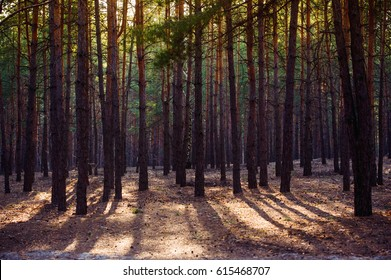 Beautiful sunset shadows in spring pine forest