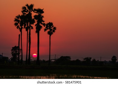 Beautiful Sunset and Silhouette Sugar Palm Tree in Thailand local countryside
