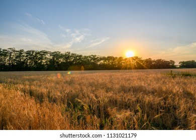 A beautiful sunset sky with clouds above the forest floor and a large field of wheat. Beautiful rural panorama of a field with wheat. General view of the colorful sunset, sunrise over the wheat field