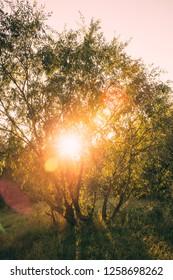 Beautiful Sunset Sunrise Sun Shining Through Willows Tree Branches  In Sunny Summer Park. Sunlight Sunrays Sunshine  Through Tree Canopy Of Sallows And Osiers, Form The Genus Salix.