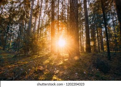Beautiful Sunset Sunrise Sun Sunshine In Sunny Autumn Coniferous Forest. Sunlight Sunrays Sunbeams Through Woods In Fall Forest Landscape.