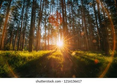 Beautiful Sunset Sunrise Sun Sunshine In Sunny Summer Coniferous Forest. Sunlight Sunbeams Through Woods In Forest Landscape.