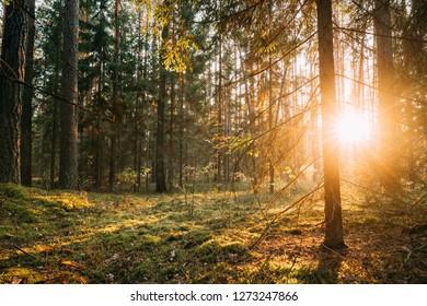 Beautiful Sunset Sunrise Sun Sunshine In Sunny Autumn Coniferous Forest. Sunlight Sunbeams Through Woods Trunk In Forest Landscape.