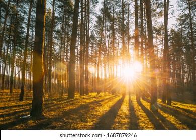 Beautiful Sunset Sunrise Sun Sunshine In Sunny Spring Coniferous Forest. Sunlight Sunbeams Through Woods In Forest Landscape. - Shutterstock ID 1687879246