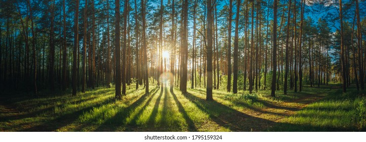 Beautiful Sunset Sunrise Sun Sunshine In Sunny Summer Coniferous Forest. Sunlight Sunbeams Through Woods In Forest Landscape. Panorama Panoramic View