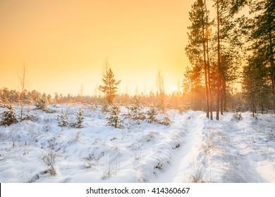 Beautiful Sunset Sunrise In Sunny Winter Snowy Forest. Sun Shine Over Winter Woods.