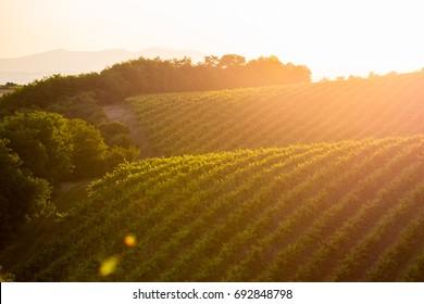 beautiful sunset in vineyard